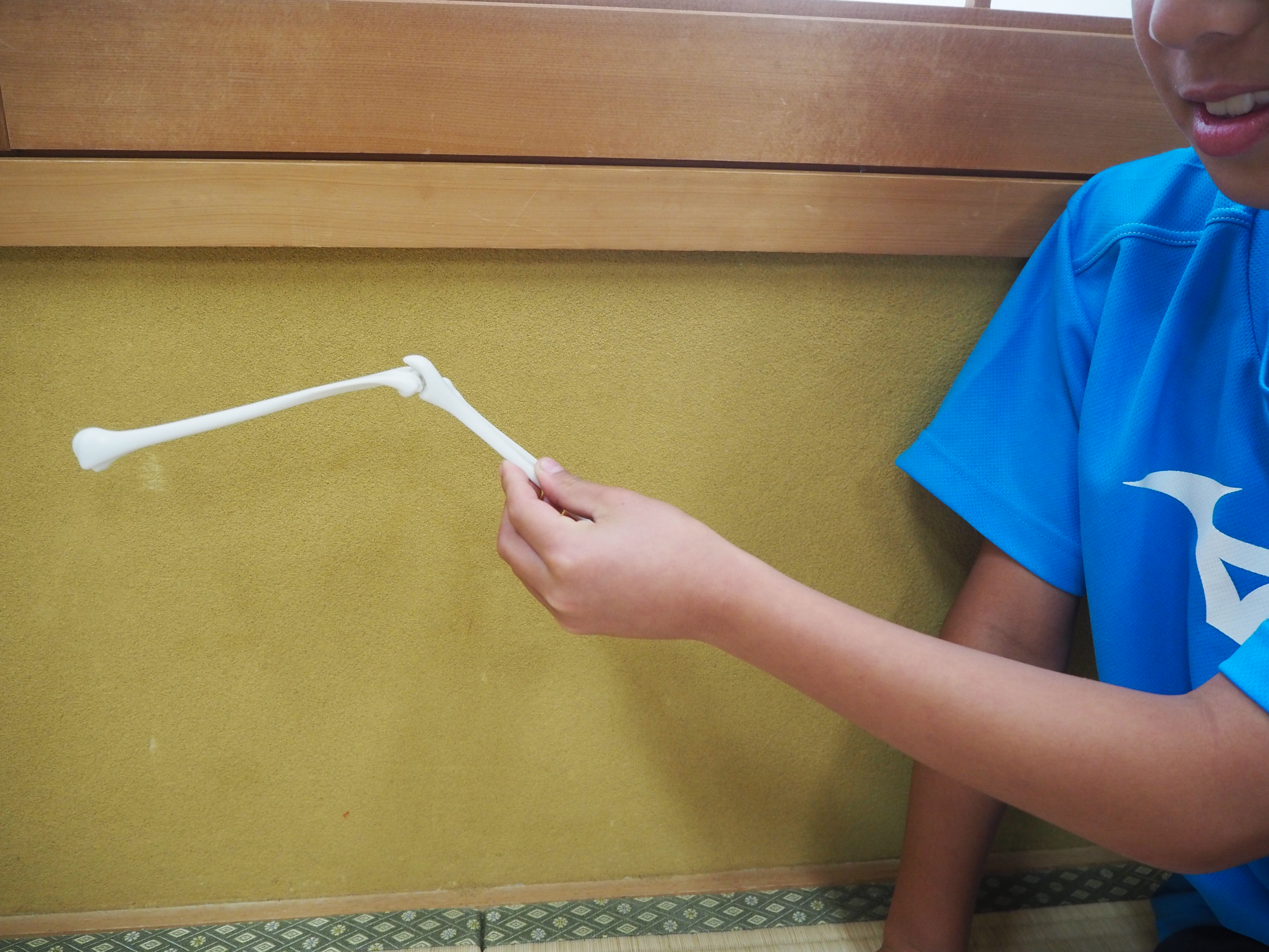 左の上腕骨と、とう骨&尺骨をつなぎ、つなぎ目がひじの関節になります。ち関節で曲げることができます。
