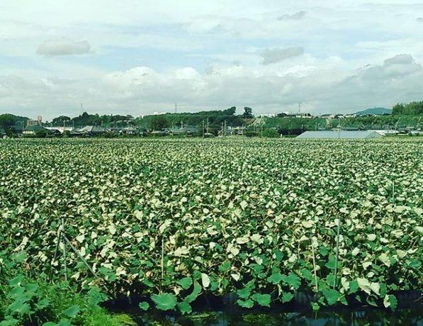 帆引き船と「れんこん」収穫見学「土浦の恵み満喫ツアー」モニターママの口コミ!