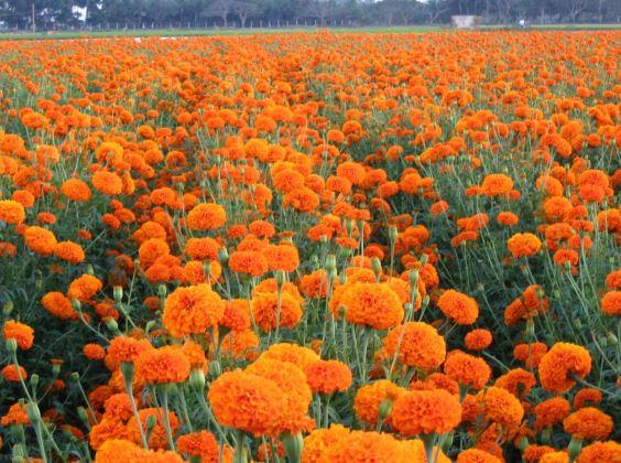 インドの契約農場で栽培